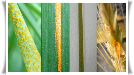 WSU-NUST Wheat Rust