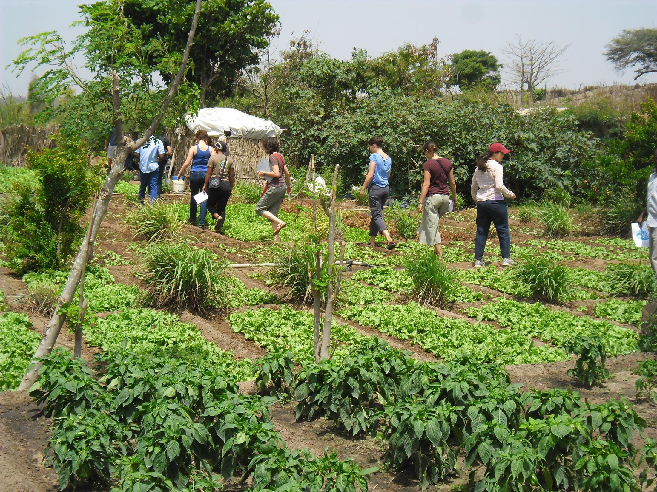 2-432MicroTrop 2014 Field trip to Niayes' Small Farmer Vegetable Production