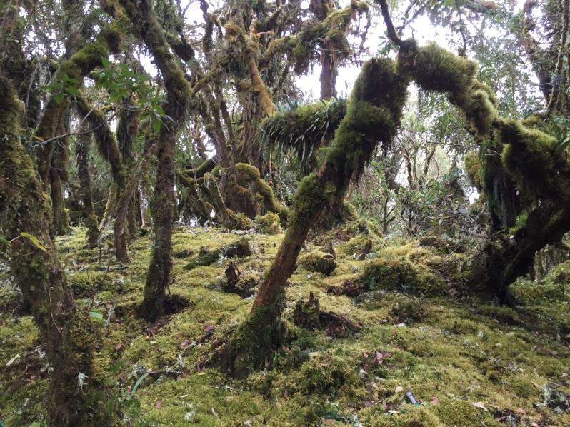 Q4 2016 SalinasPatch of cloud forest of mixed species composition at 3500 m